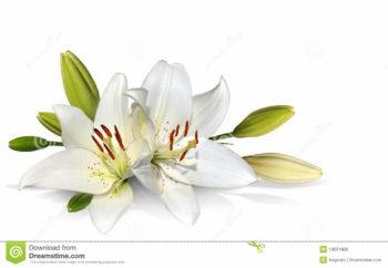 Easter Lilies- Poisonous To Your Cat