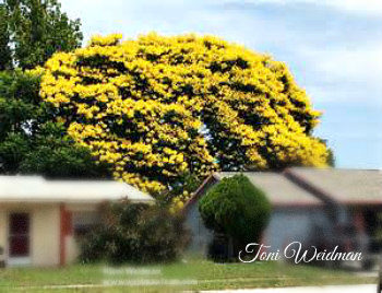 Golden rain tree in florida toni weidman trinity fl golden rain tree in florida mightylinksfo