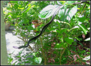 Ribbon Snake -What Is It