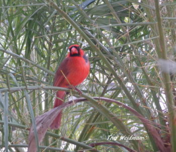 Cardinal in Timber Greens