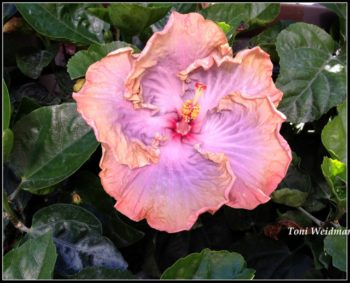 Easter Hibiscus in New Port Richey FL